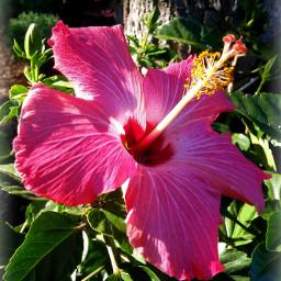 hibiscus flower adjusttool vignette