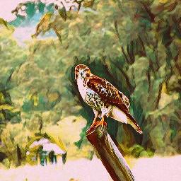 edited redtailedhawk birdsofprey birdsphotography