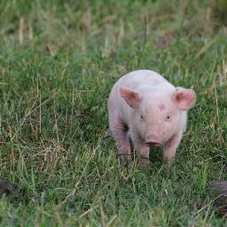 freetoedit pig countrylife petsandanimals nature