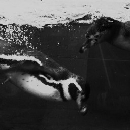 penguins zoo black blackandwhite bwphotography