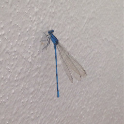 libelula blue intheclassroom