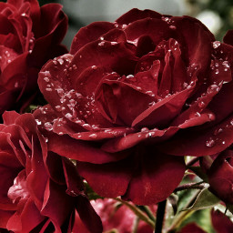 flower flowers photography rose roses love waterdrops closeup